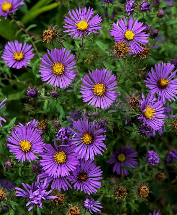 New England asters (Symphyotrichum novae angliae) courtesy of the Ohio Department of Natural Resources