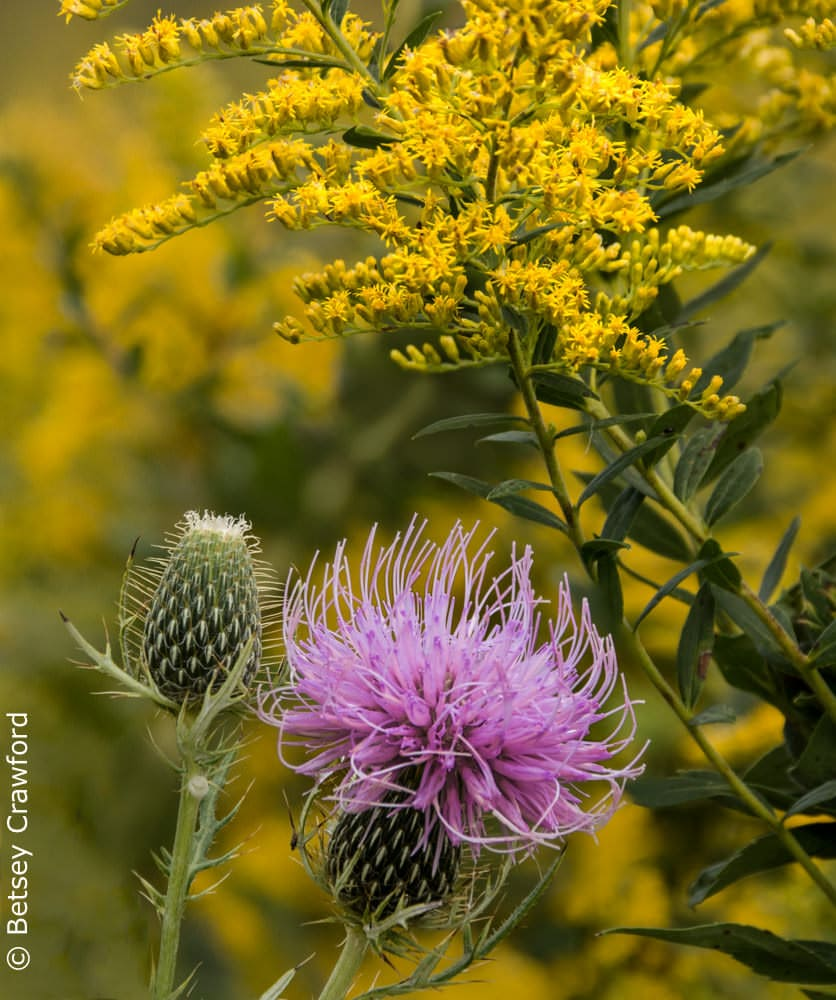 Pasture thistle (Cirsium discolor) and Canada goldenrod (Solidago canadensis) Curtis Prairie, Madison, Wisconsin by Betsey Crawford