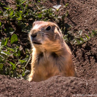 Prairie dog in Bear Creek Greenbelt, Lakewood, Colorado by Betsey Crawford