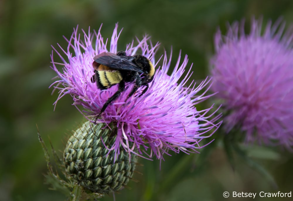Tall thistle (Cirsium altissimo) and bee, Golden Prairie, Golden City, Missouri by Betsey Crawford