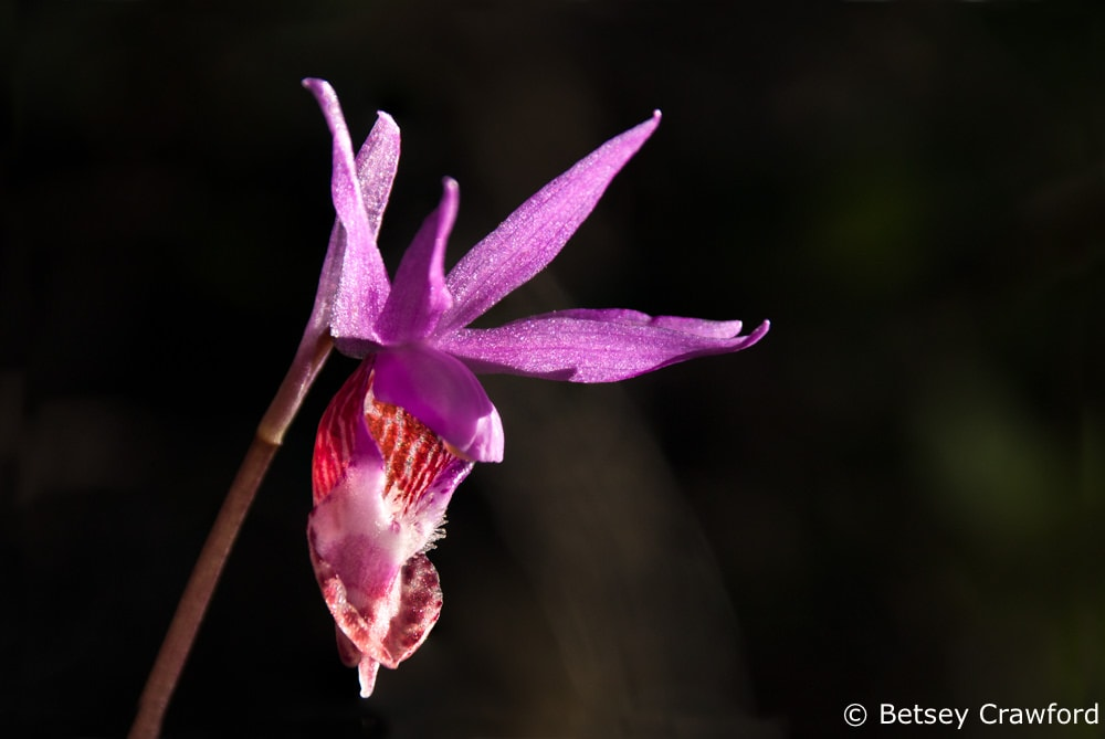 Fairy slipper orchid (Calypso bulbosa) on Mount Tamalpais, Mill Valley, California by Betsey Crawford