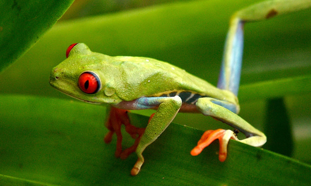 The Pachamama Alliance is dedicated to saving rainforests and all its creatures, like this red-eyed tree frog