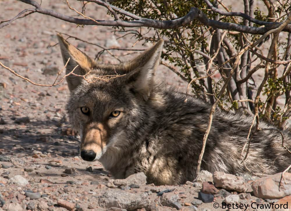 Coyote resting under creosote bush in the southern California desert by Betsey Crawford