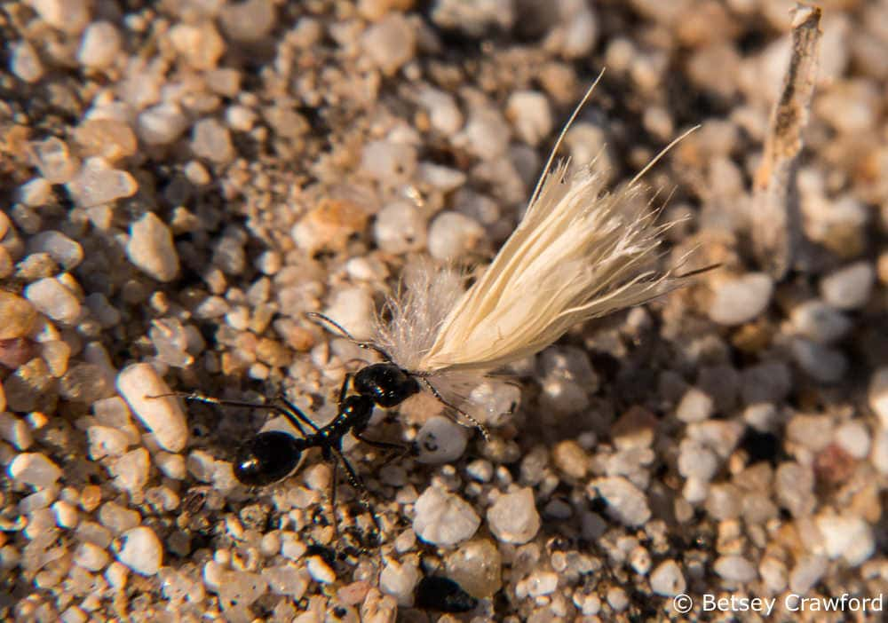 An ant carrying a seed head in the Anza Borrego Desert by Betsey Crawford
