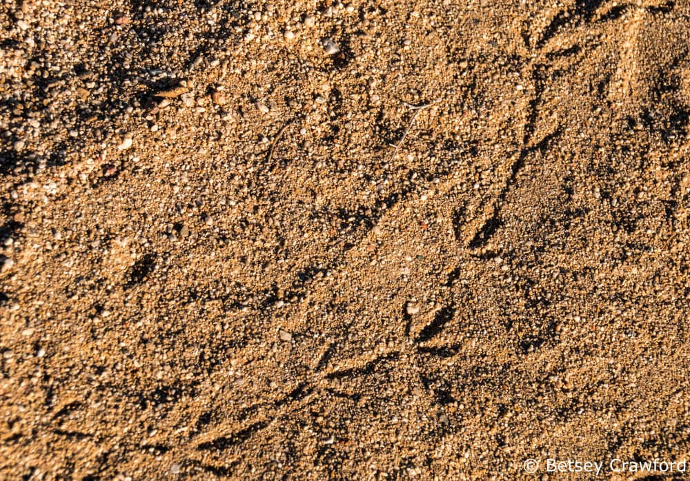 Desert wildlife--raven tracks at Ocotillo Wells in the Anza Borrego Desert by Betsey Crawford