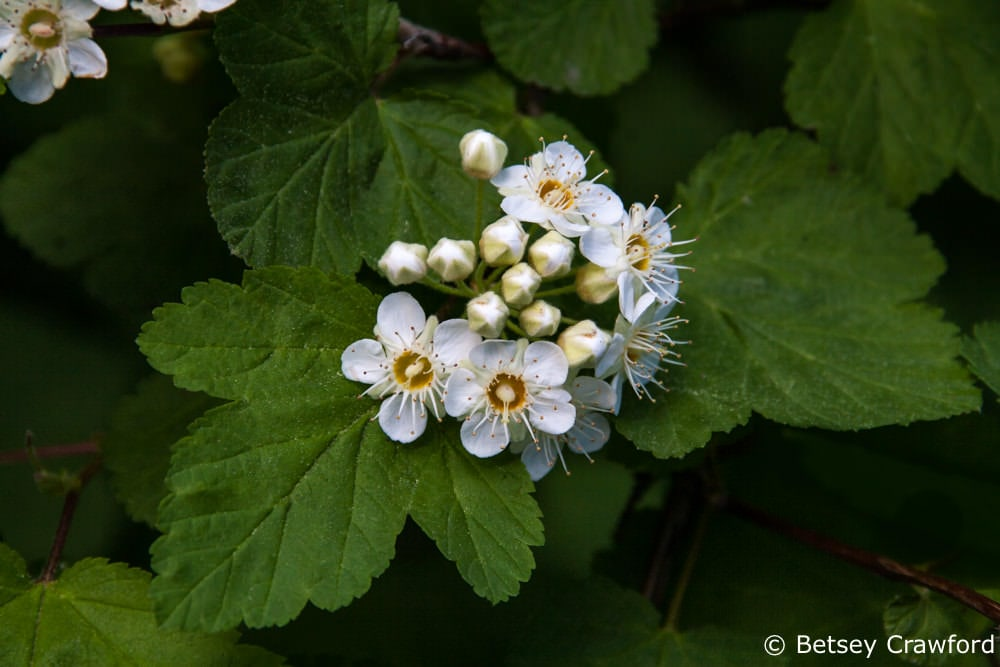 Idaho wildflowers-Ninebark (Physocarpus malvaceus) taken on Tubbs Hill, Coeur d'Alene, Idaho by Betsey Crawford