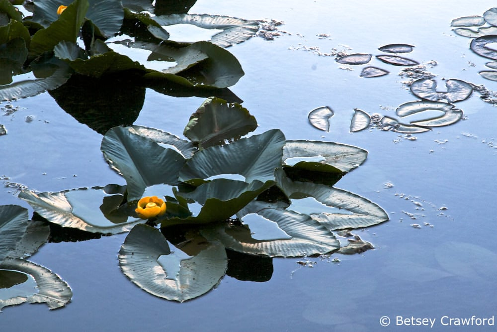 Idaho wildflowers-yellow pond lily (Nuphar polysepalum) taken at Fernan Lake, Coeur d'Alene, Idaho by Betsey Crawford