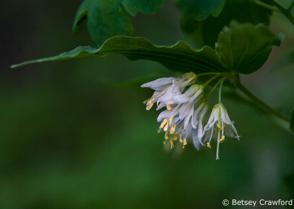 Fairy bells (Disporum trachycarpum) taken at Cougar Bay, Coeur d'Alene, Idaho by Betsey Crawford