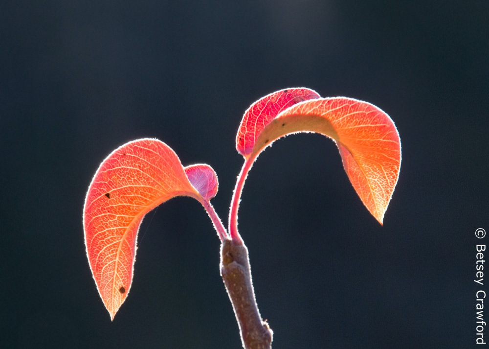 Radiance: autumn peach leaves, Genesis Farm, Blairstown, New Jersey by Betsey Crawford