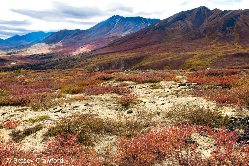 Lichen and other cryptograms are dominant in the tundra of northern Canada and Alaska. All the white on the ground in this picture from the Tombstone Mountains in Yukon is a leafy lichen. Photo by Betsey Crawford