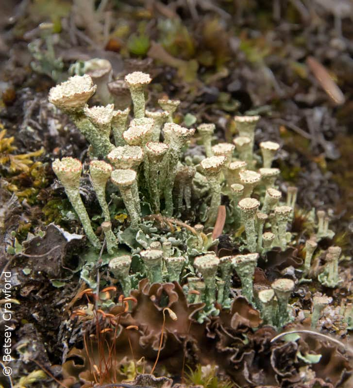 The fairy cups of the lichen species Cladonia, Denali National Park, Alaska by Betsey Crawford
