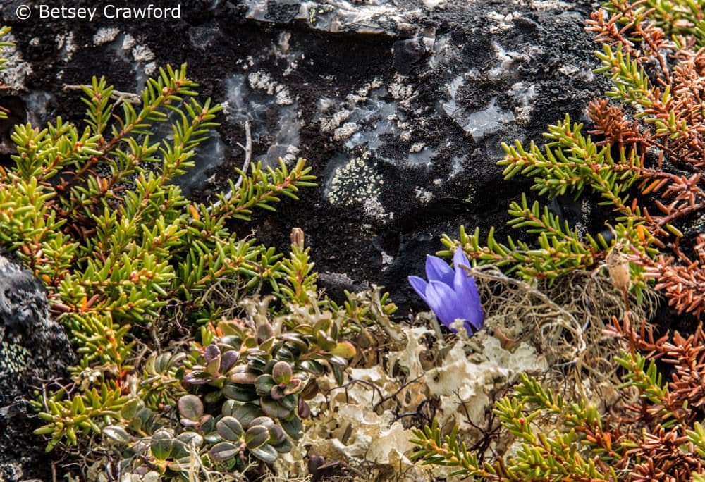 Snow lichen (Flavocentria nivalis) with alpine bearberry (Arctostaphylos alpina), mountain harebell (Campanula lasiocarpa) and other alpine plants make up the tundra of the Yukon. Photo by Betsey Crawford