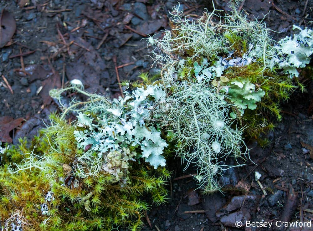 Mixed lichen and moss on a stick Mount Tamalpais, California by Betsey-Crawford