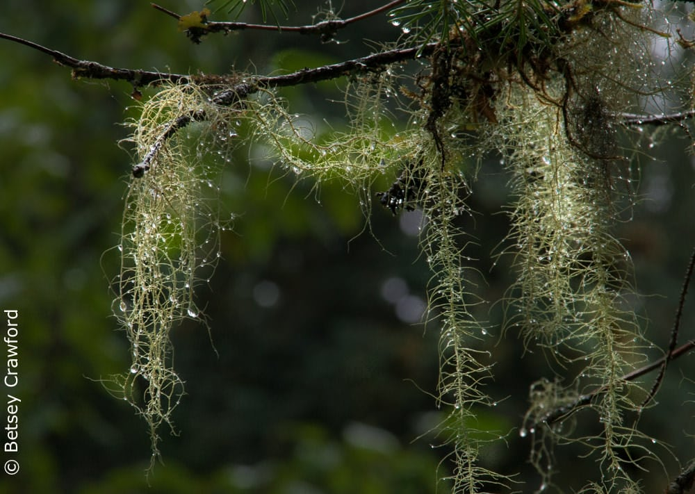 Old man's beard lichen (Dolichnousnea longissima) Tongass National Forest, Alaska by Betsey Crawford