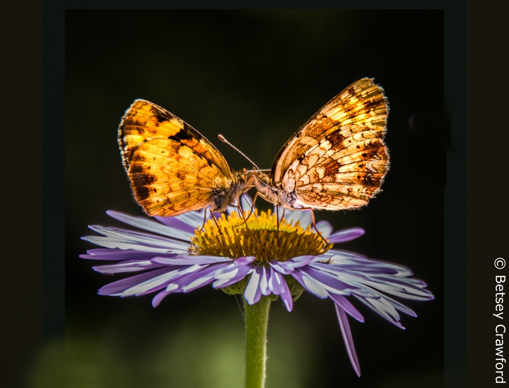 Powers of the universe: Radiance. Tall purple fleabane (Erigeron peregrinus) with butterflies in Waterton Lakes National Park in Alberta, Canada by Betsey Crawford