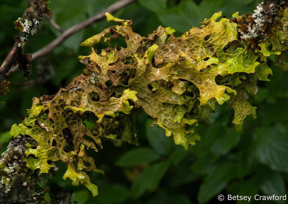 A lichen called tree lungwort (Lobaria pulmonaria) Tongas National Forest, Alaska by Betsey Crawford