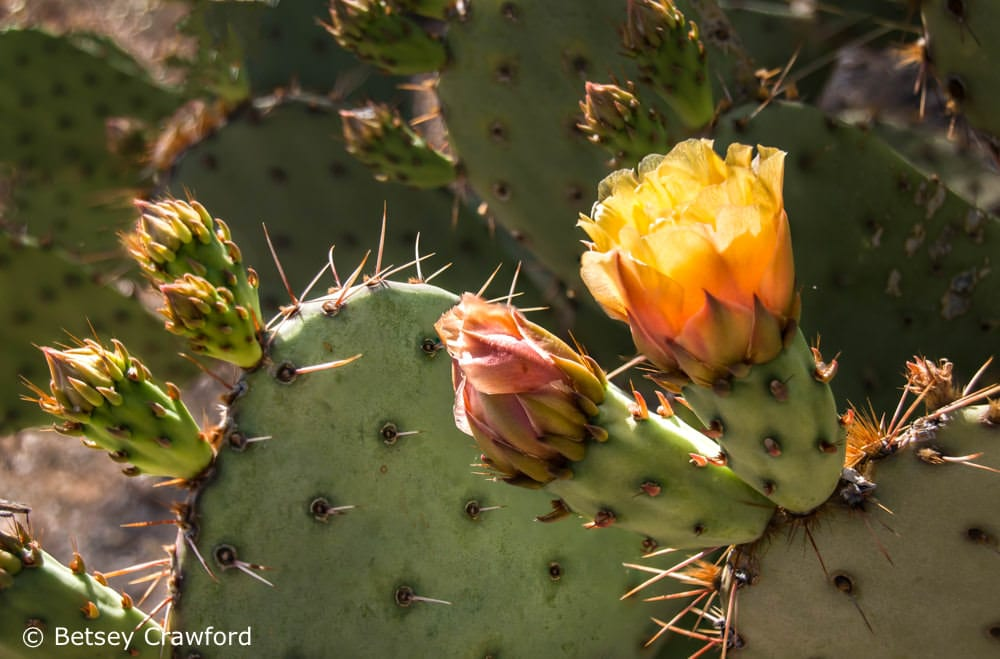 Engelmann's prickly pear cactus (Opuntia engelmannii) in Saguaro National Park, Tucson, Arizona by Betsey Crawford