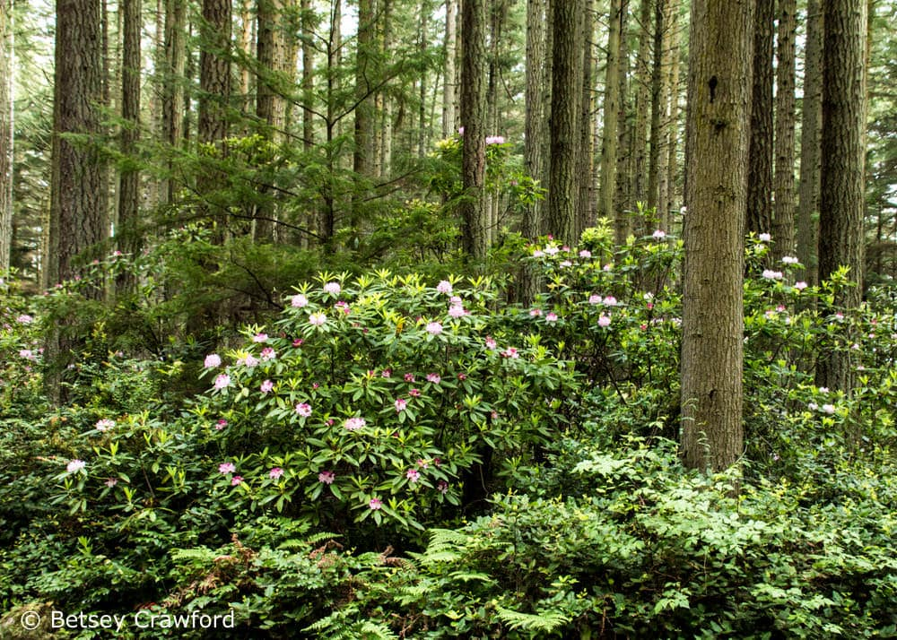Pacific rhododendron (Rhododendron macrophylla) in Rhododendron Park on Whidbey Island, Washington. Evergreens can perform photosynthesis all year, but are much less efficient in winter. When cold enough, the process can shut down altogether. Photo by Betsey Crawford.
