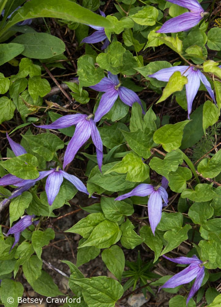 Blue clematis (Clematis occidentals) in Waterton Lakes National Park, Alberta, Canada by Betsey Crawford