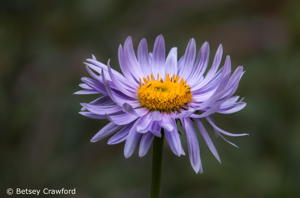 Celebrating the Season of Creation: tall purple fleabane (Erigeron peregrinus) on the Stanley Glacier trail in Kootenay, British Columbia by Betsey Crawford