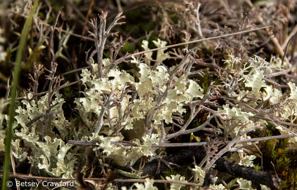 Celebrating the Season of Creation: black-footed reindeer lichen (Cladonia stymie) with snow lichen (Flavocentria invalid) in Denali National Park, Alaska by Betsey Crawford
