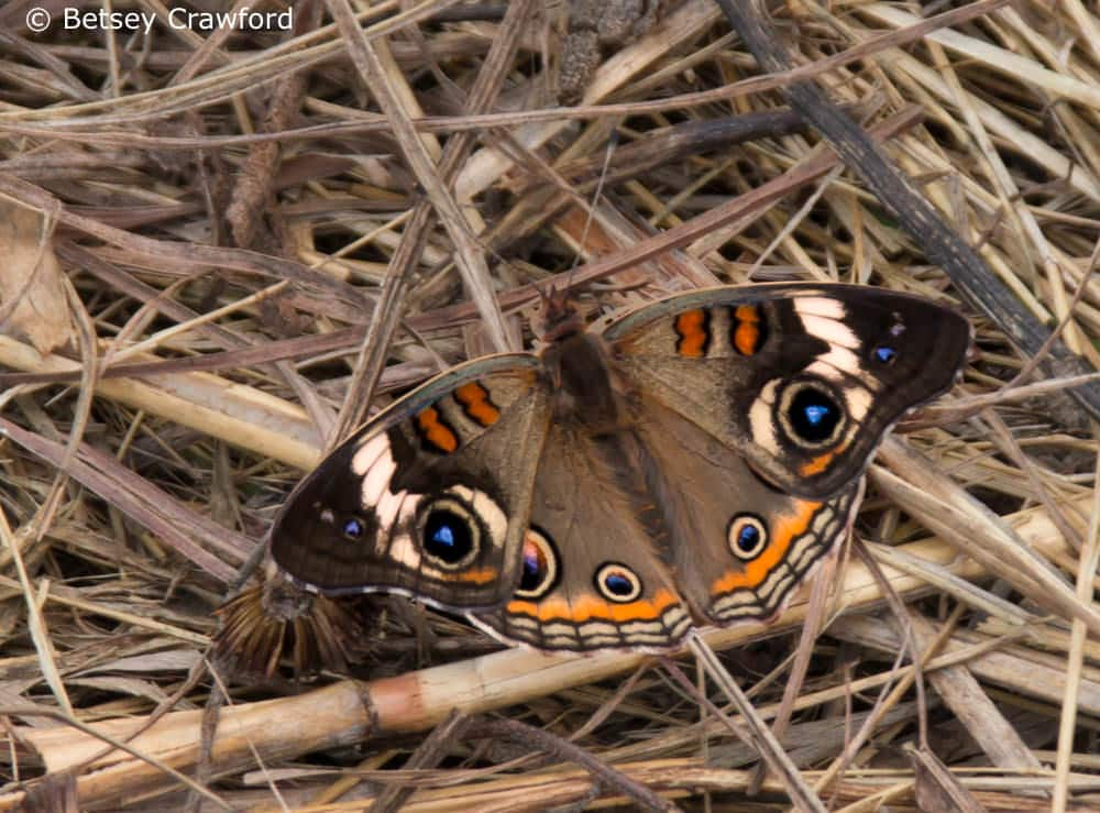 Celebrating the Season of Creation: common buckeye (Junonia coenia) Golden Prairie, Golden City, Missouri by Betsey Crawford