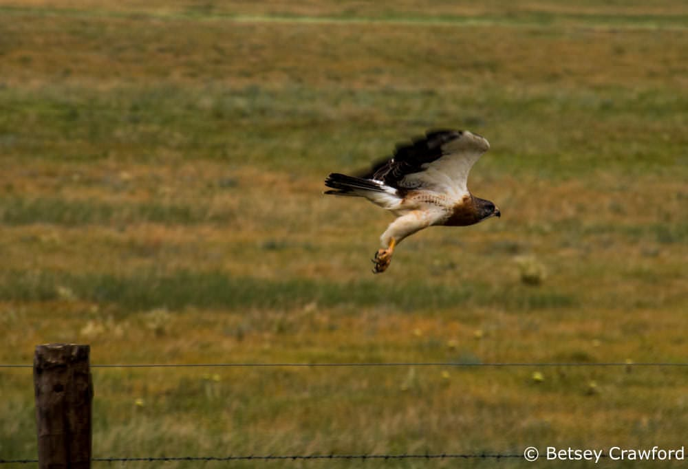 Celebrating the Season of Creation: a hawk in flight in the Pawnee National Grasslands by Betsey Crawford