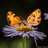 Tall purple fleabane (Erigeron peregrinus) with butterflies in Waterton Lakes National Park in Alberta, Canada by Betsey Crawford
