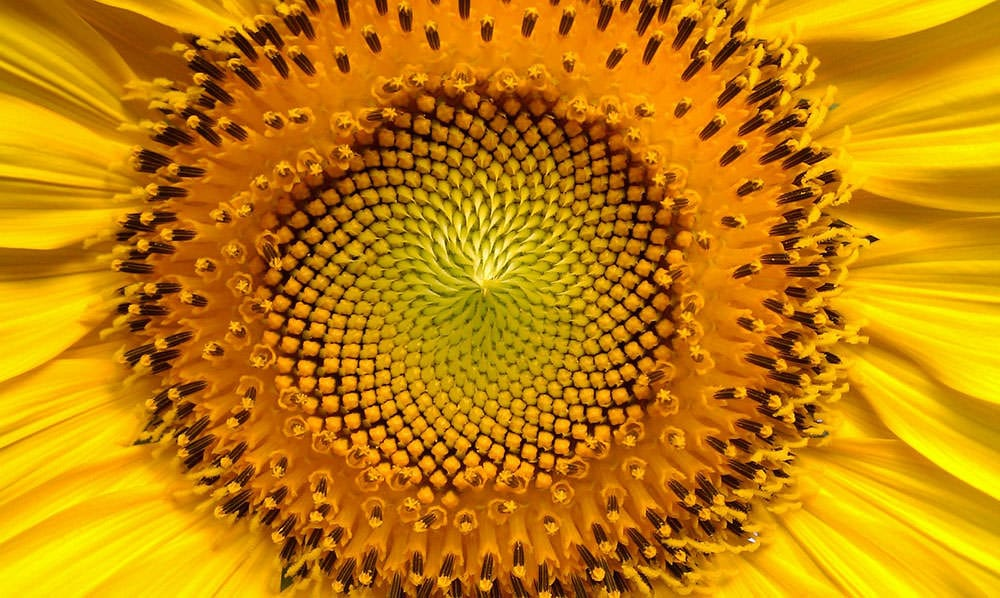 The power of centration shows up in the Fibonacci curves at the center of the sunflower