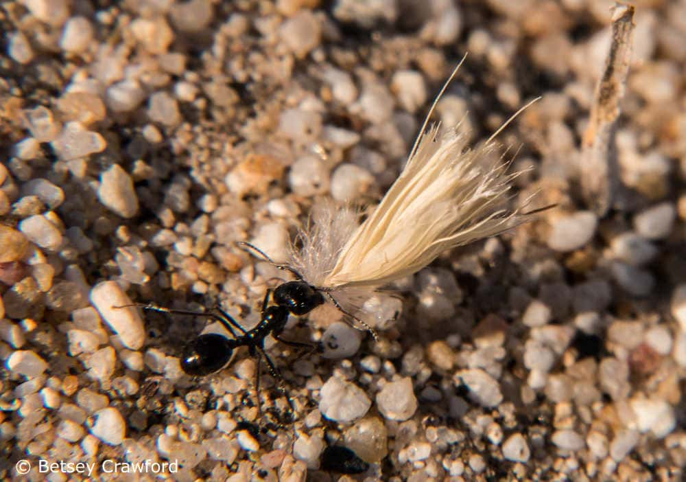 An ant carries seeds in the Anza Borrego Desert in photo by Betsey Crawford