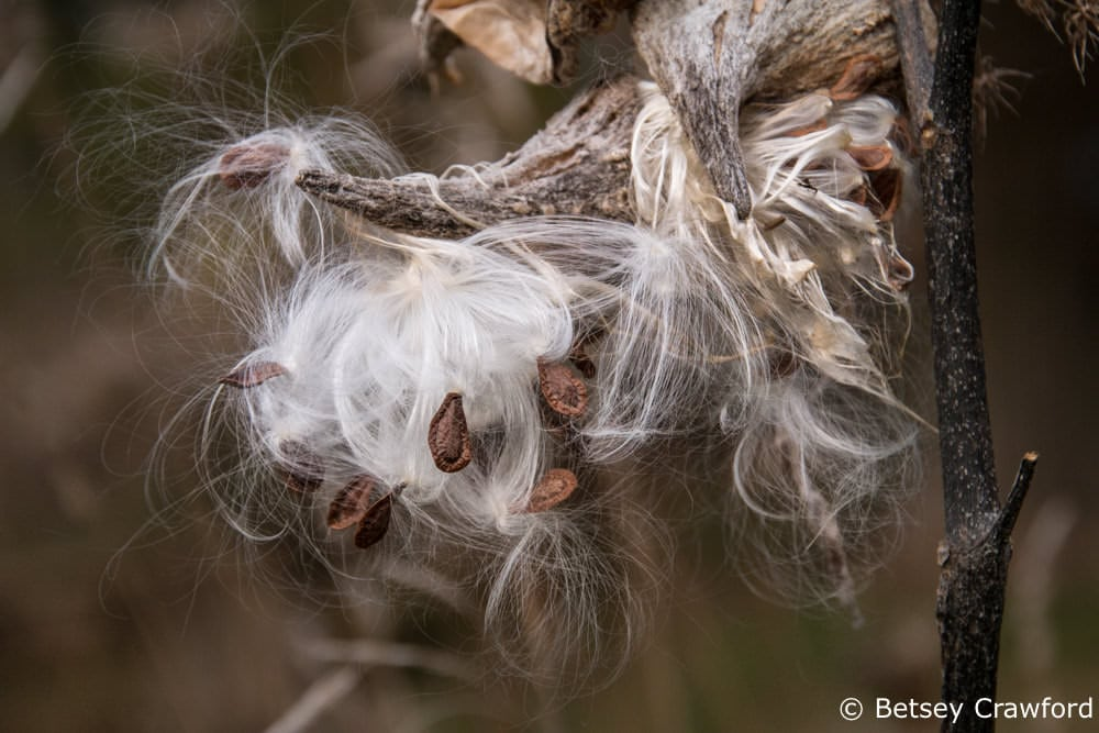Common milkweed (Asclepias syriaca) seeds ready to take off by Betsey Crawford
