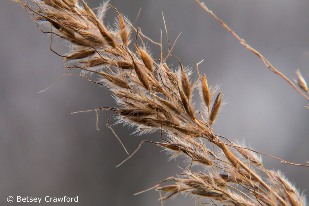 The seeds of grasses are full of energizing starches that provide half the world's calories. Photo by Betsey Crawford