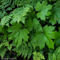 Maple leaves and ferns on Peterson Bay, Homer, Alaska by Betsey Crawford