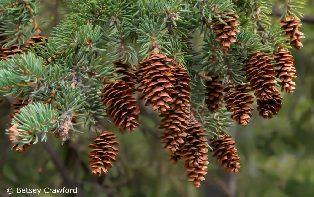 White spruce (Picea blanca) cones protect their seeds. Photo by Betsey Crawford