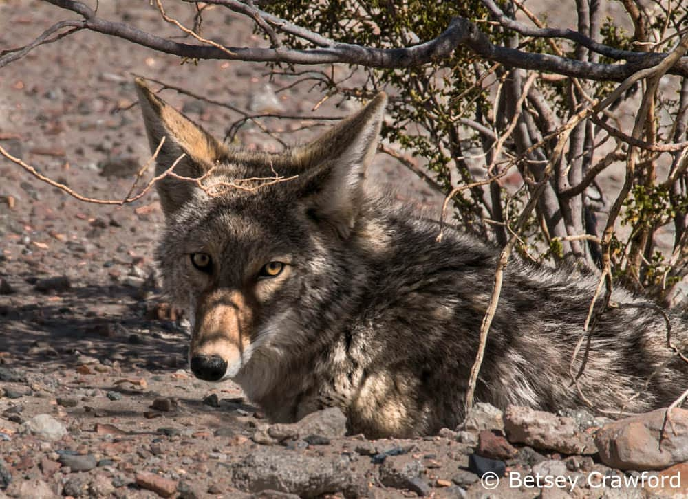 Coyote resting under creosote bush outside of Death Valley, California by Betsey Crawford