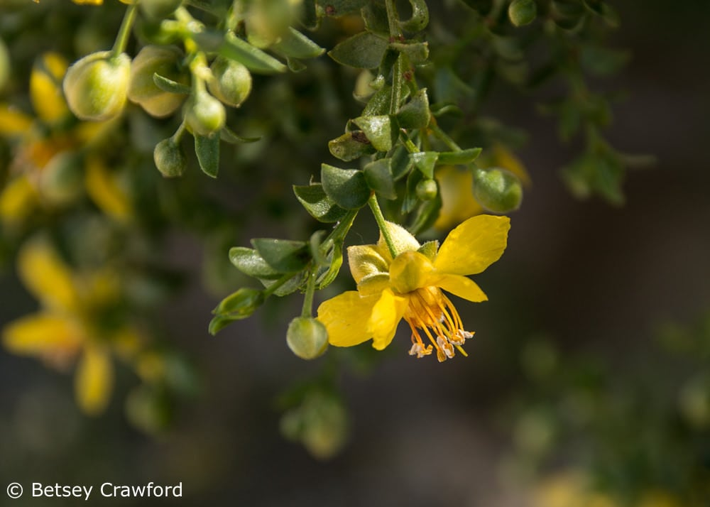 Creosote (Larrea dentata) in the Anza Borrego Desert, California by Betsey Crawford