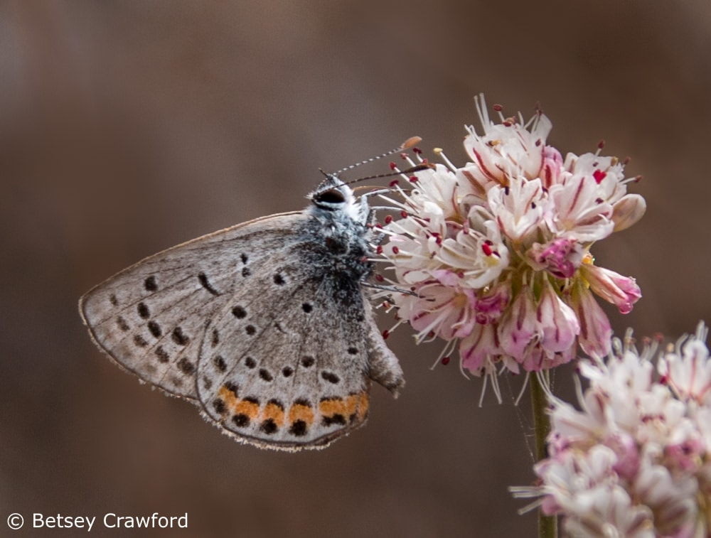 Creating habitat with native plant gardening: a gorgon copper butterfly (Lycaena gorgon) on California buckwheat (Eriogonum fasciculatum) Ring Mountain, Tiburon, California by Betsey Crawford