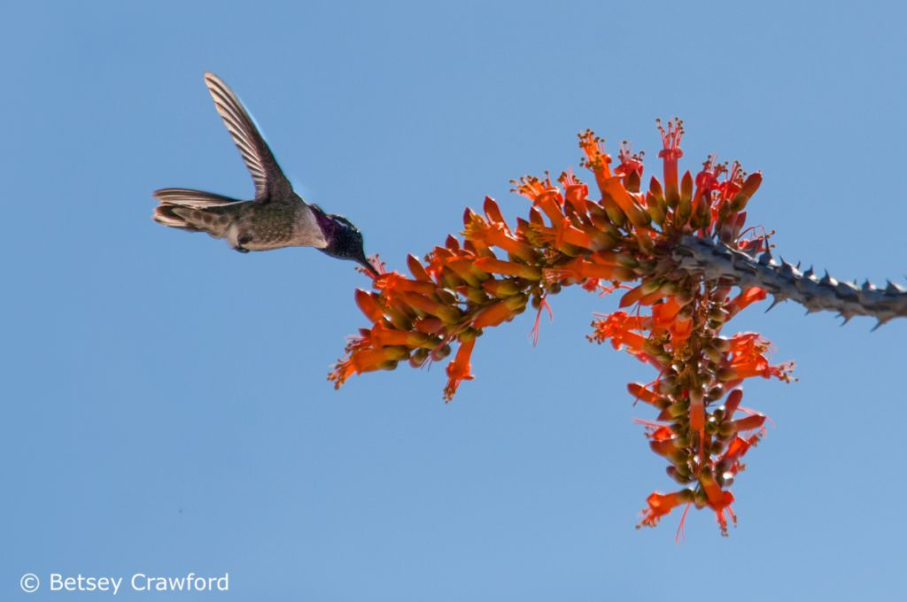 Ocotillo (Fouquieria spendens) and hummingbird in the Anza Borrego Desert, California by Betsey Crawford