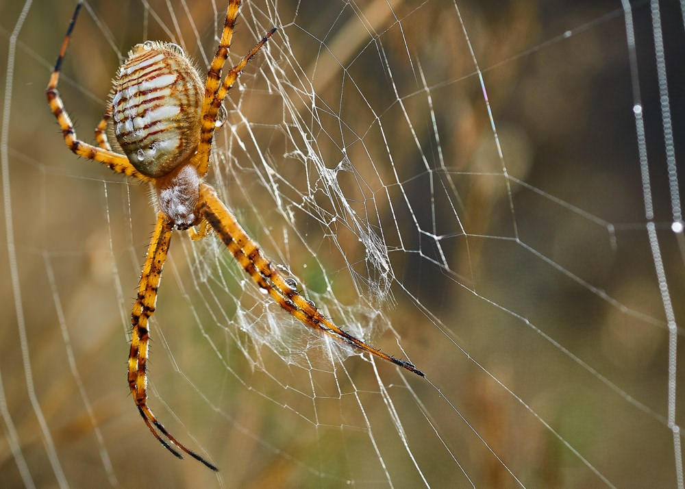 Biomimicry: A banded garden spider (Argiope trifasciata) shows off two different kinds of silk, which, ounce for ounce, is stronger than steel. Photo by Arnie Battaglene