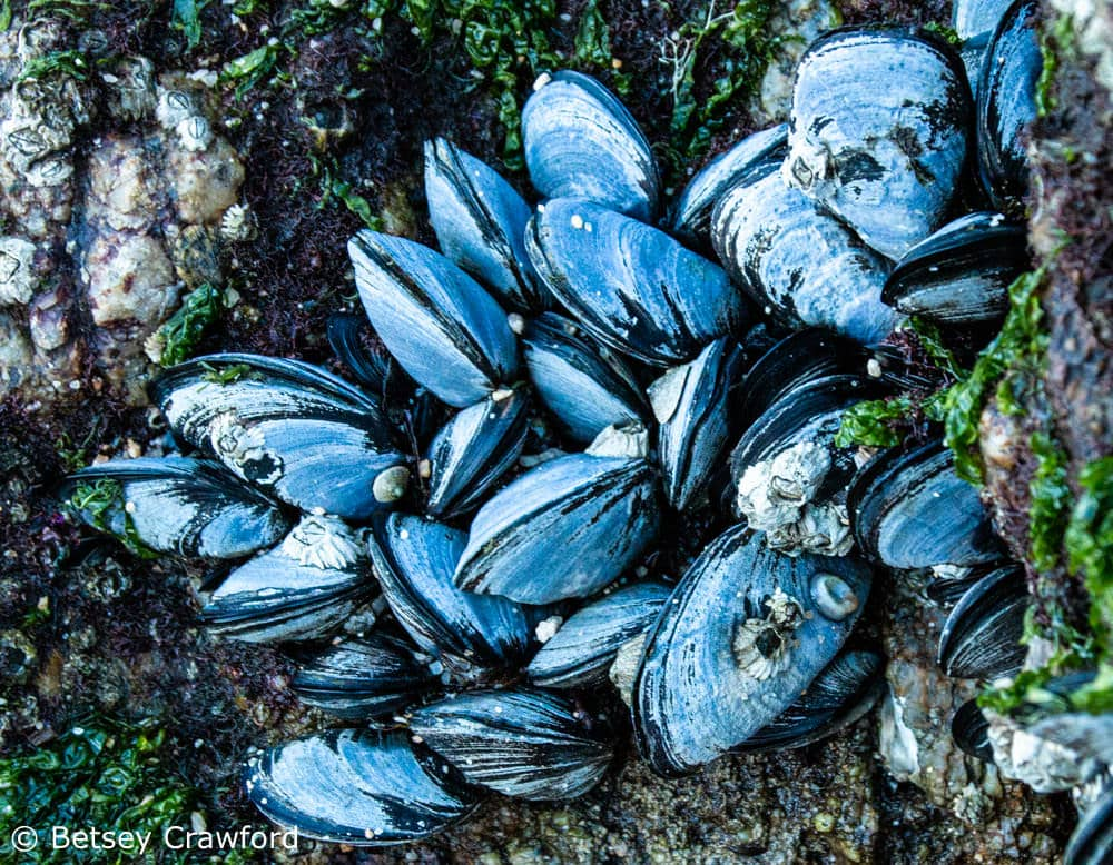 Biomimicry: Blue mussels waiting for the tide to bring food, when they will float on tethers held by a glue that works on irregular surfaces and underwater. Photo by Betsey Crawford