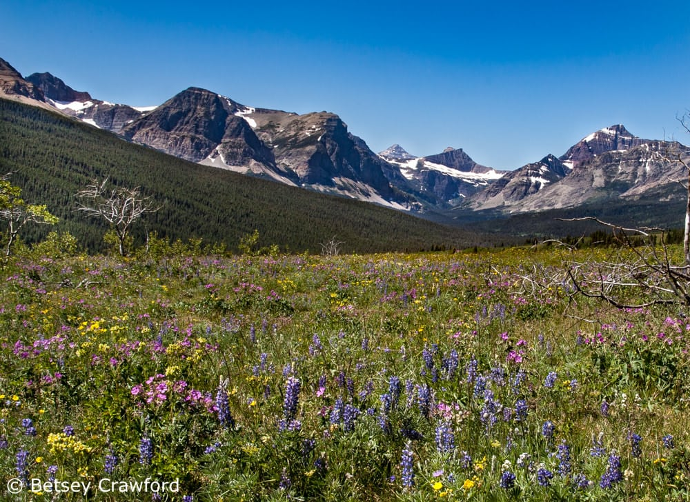 Saving half earth: a wildflower meadow in Glacier National Park, Montana