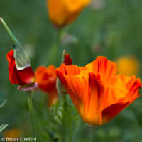 California poppy (Eschscholzia californica) native plant garden, El Sobrante, California by Betsey Crawford