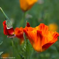 California poppy (Eschscholzia californica) native plant garden, El Sobrante, California by Betsey Crawford