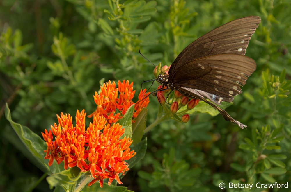 Creating habitat with native plant gardening: a black swallowtail (Papilio polyxenes) on the aptly named butterfly weed (Asclepias tuberose) in Osceola, Missouri. Photo by Betsey Crawford