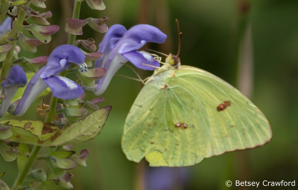Creating habitat with native plant gardening: a cloudless sulphur (Phoebis sennae) on helmet flower (Scutellaria integrifolia) in Osceola, Missouri, by Betsey Crawford