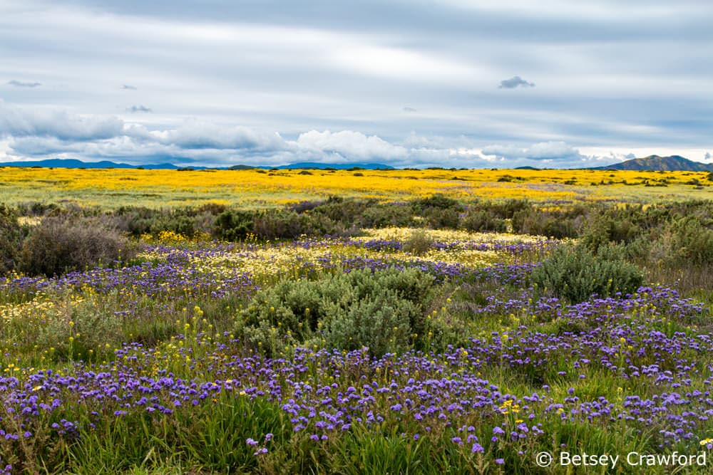 Beauty and allurement: the 2019 superbloom in the Carrizzo Plain, California by Betsey Crawford