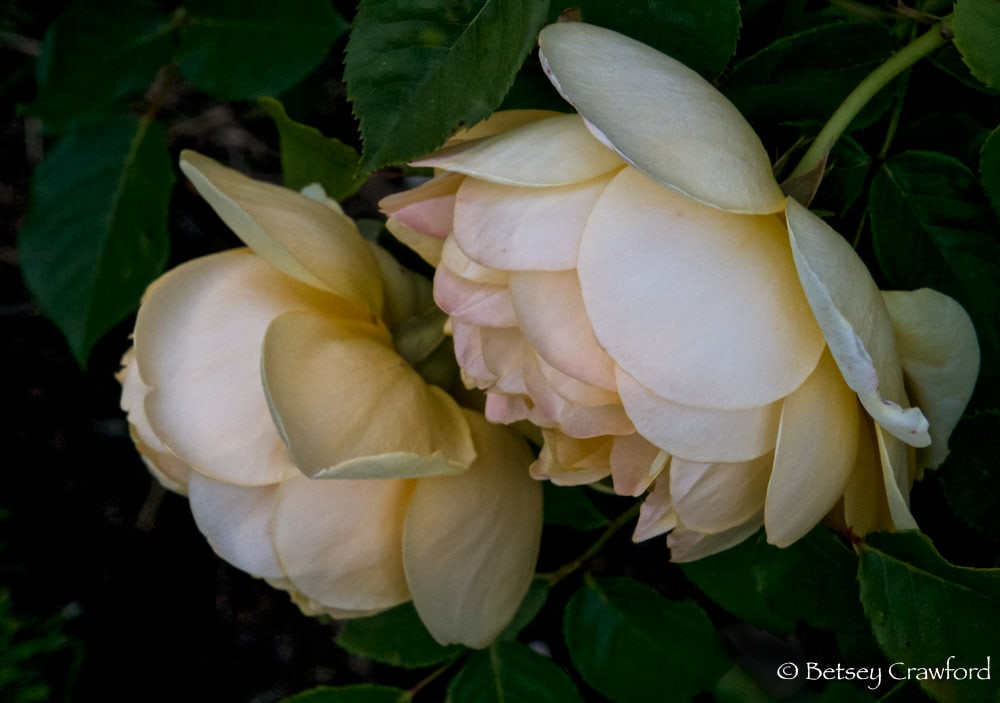 Beauty: David Austin roses in Manito Park, Spokane, Washington by Betsey Crawford