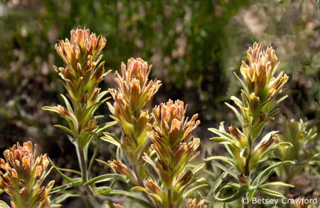 Alpine paintbrush (Castilleja nana) Sierra Nevada Mountains by Betsey Crawford