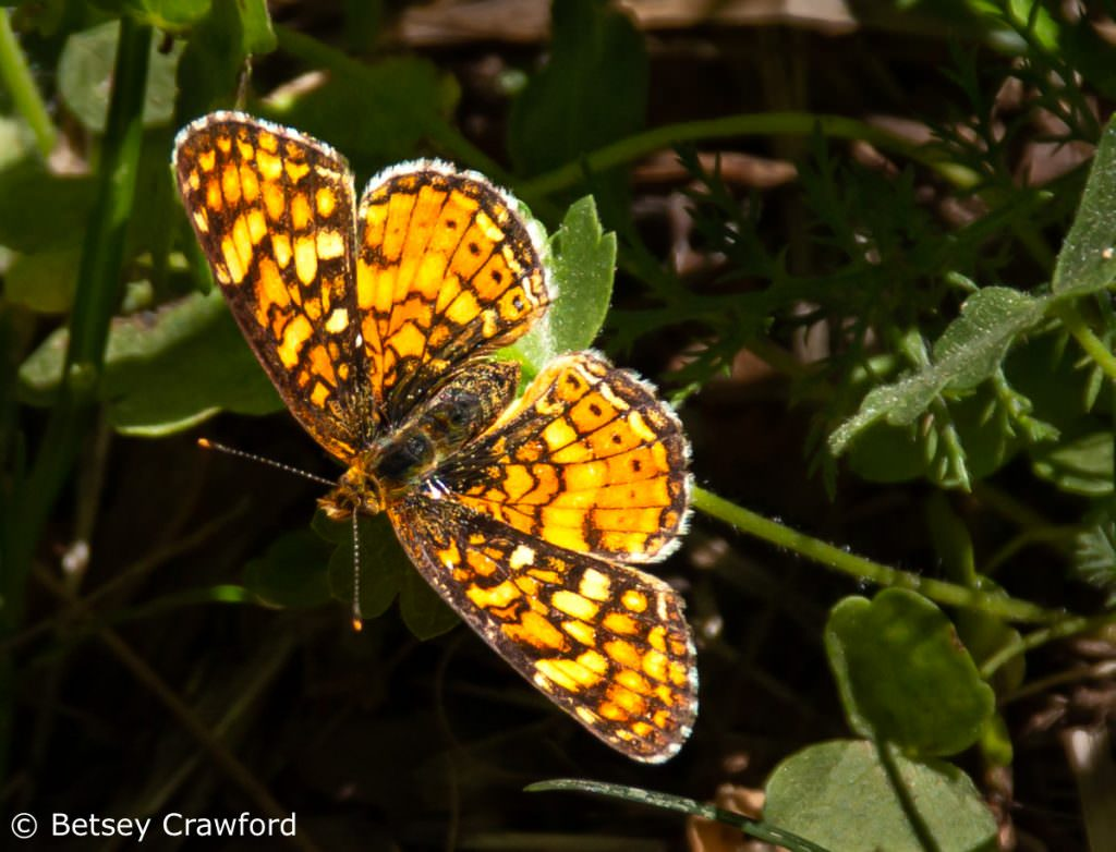 fritillary (Speyeria species) Sierra Nevada Mountains by Betsey Crawford