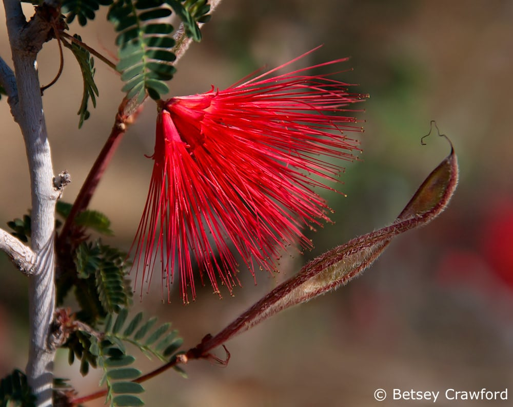 Beauty and allurement: Fairy duster (Calliandra eriophylla) Anza Borrego Desert, California by Betsey Crawford